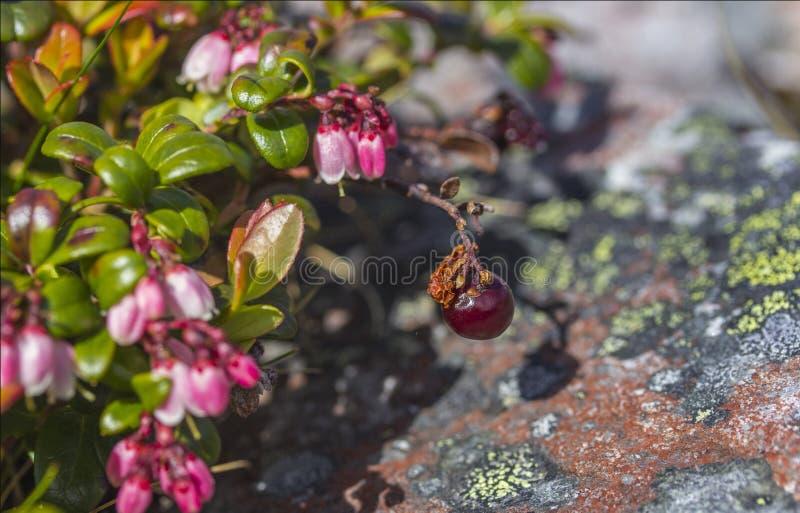 Lingberry obraz stock