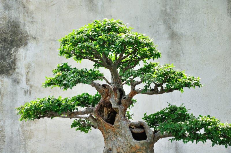 Lingering Garden bonsai royalty free stock photo