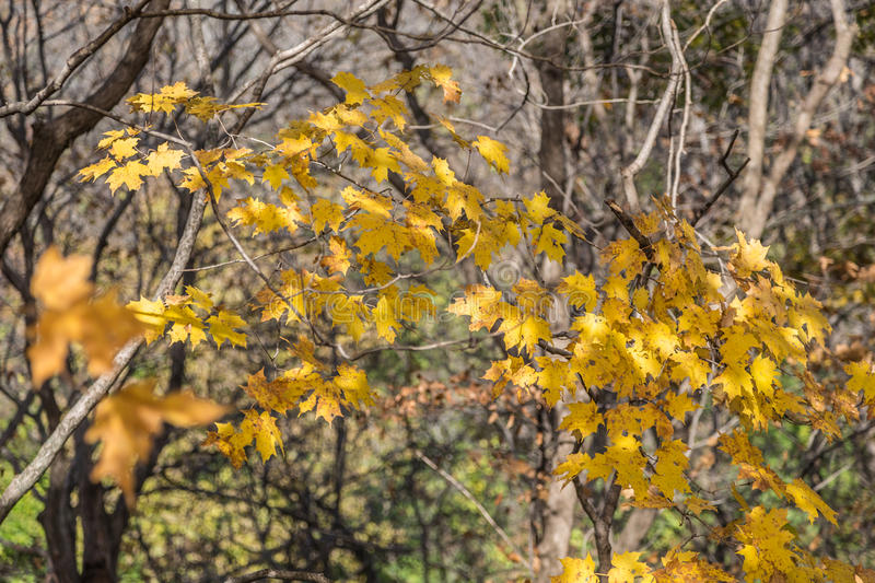 Lingering Golden Yellow Autumn Leaves stock images