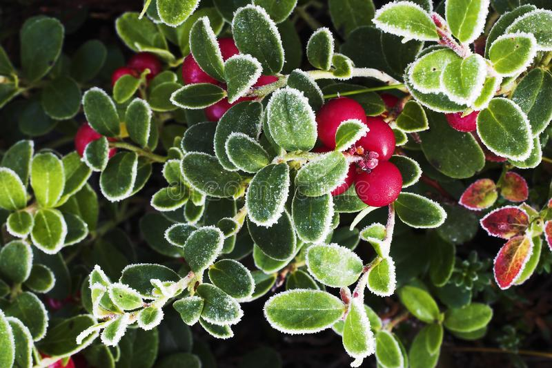 Lingonberry. A cold morning with frosty leafs royalty free stock photography