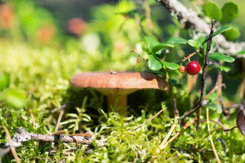 Lingon och champinjon i den soliga skogen royaltyfri fotografi