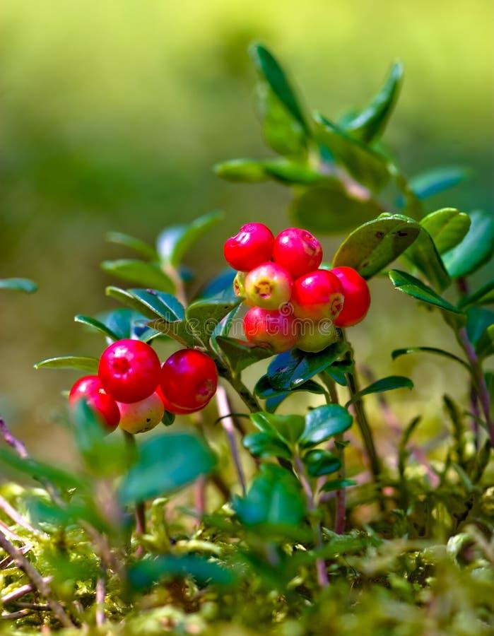 Lingonberries foto de stock