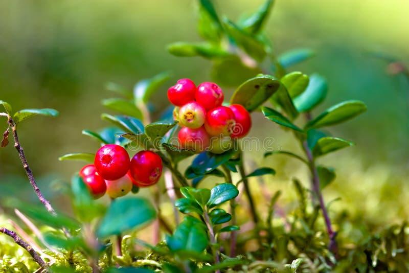 Lingonberries imagem de stock