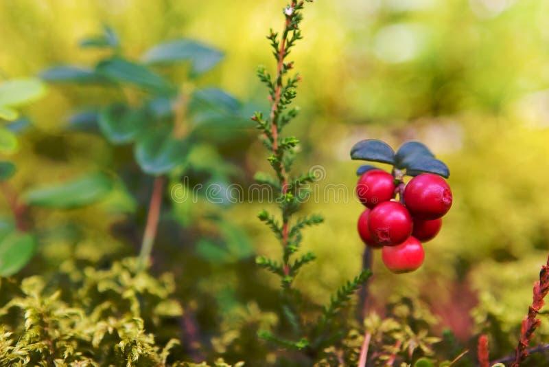 Lingonberries foto de stock royalty free