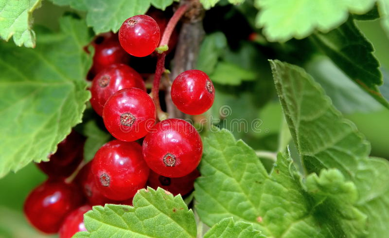 Download LINGONBERRIES stock photo. Image of whortleberries, whortleberry - 14871916