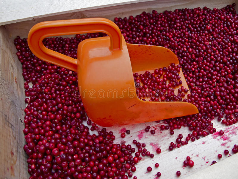 Lingonberries. Wooden box with fresh red lingonberries and an orange bailer stock photo