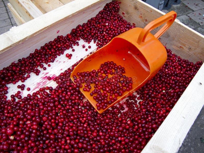 lingonberries zdjęcie royalty free
