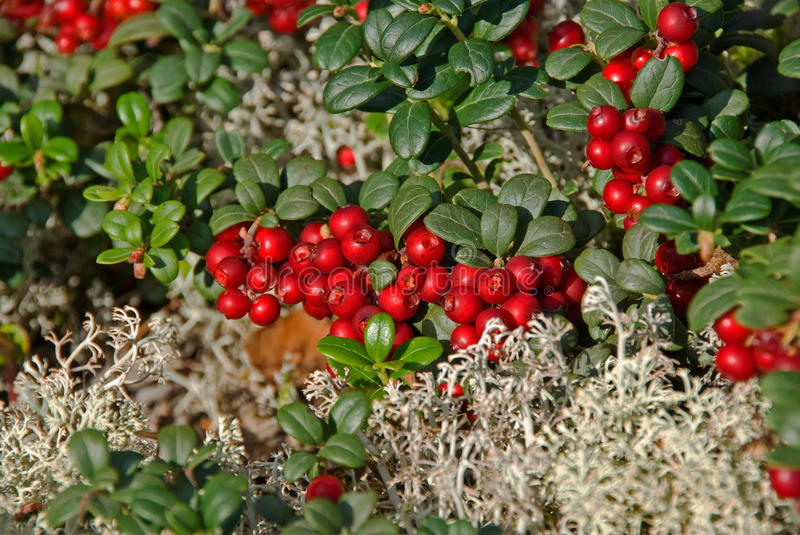 Download Lingonberries stock image. Image of lingonberry, moss - 16631551