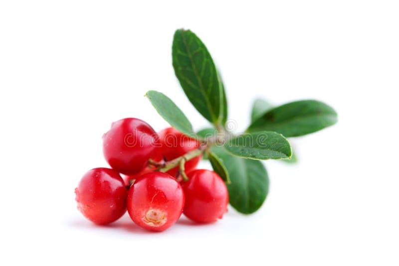 Lingonberries fotografia stock libera da diritti