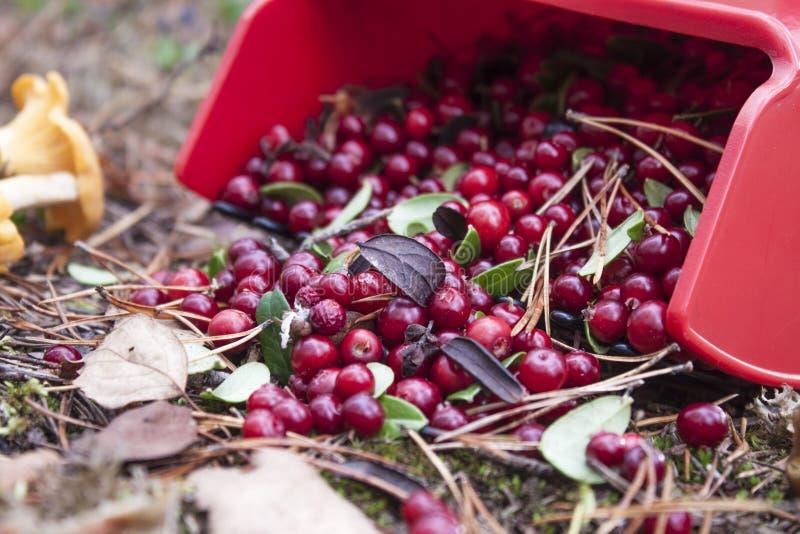 Lingonberries imagem de stock royalty free