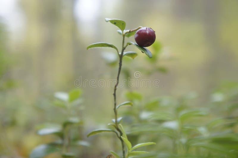 Lingonberries en el bosque fotografía de archivo libre de regalías