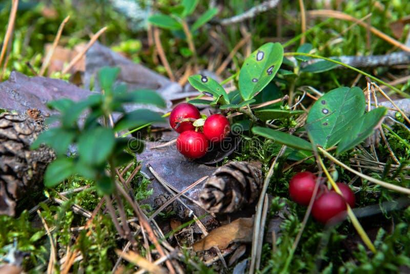 Lingonberries in het hout in een opheldering in het bos stock afbeelding
