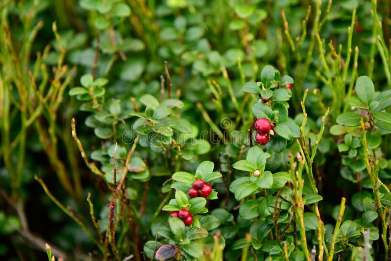 Lingonberries selvagens maduros da airela na floresta fotografia de stock