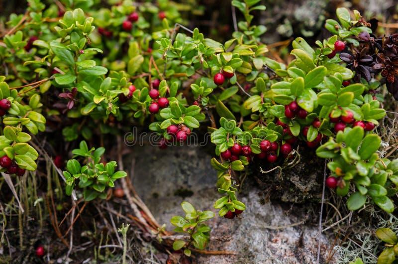 Lingonberriesanlage lizenzfreie stockfotografie