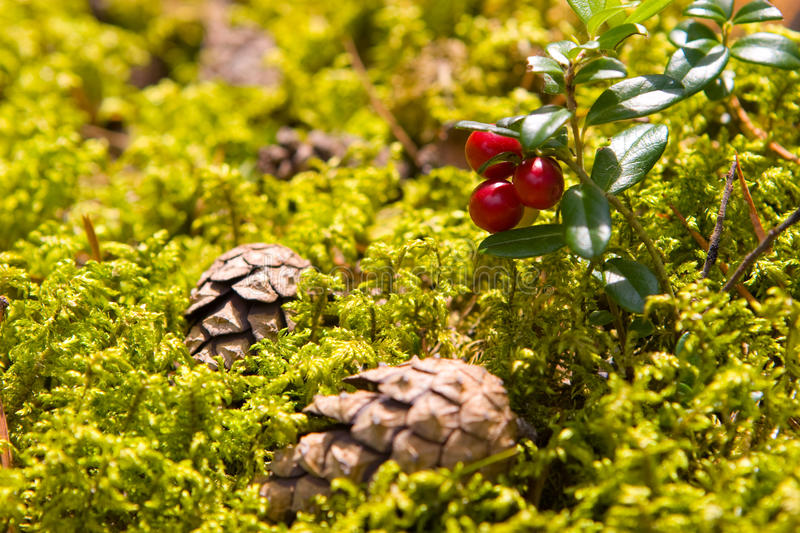 Lingonberry. (Vaccinium vitis-idaea) and two cones on the forest floor stock photography