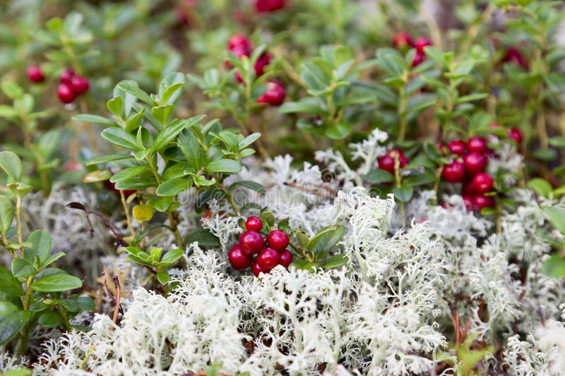 Lingonberry. And Reindeer moss in the woods royalty free stock photo