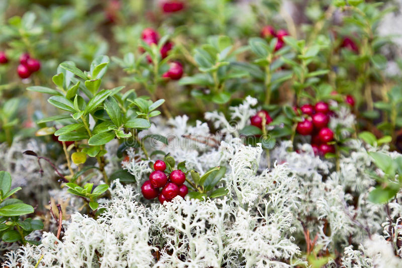 Lingonberry. And Reindeer moss in the woods royalty free stock image