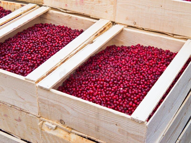 Lingonberry imagem de stock