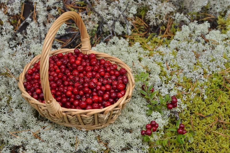 Lingonberry in a basket in the mountains royalty free stock image