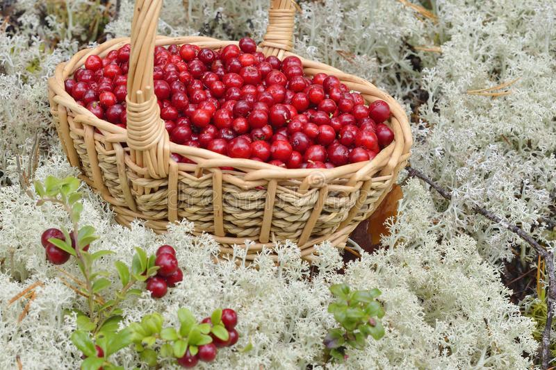 Lingonberry in a basket in the mountains. In sweden stock photos