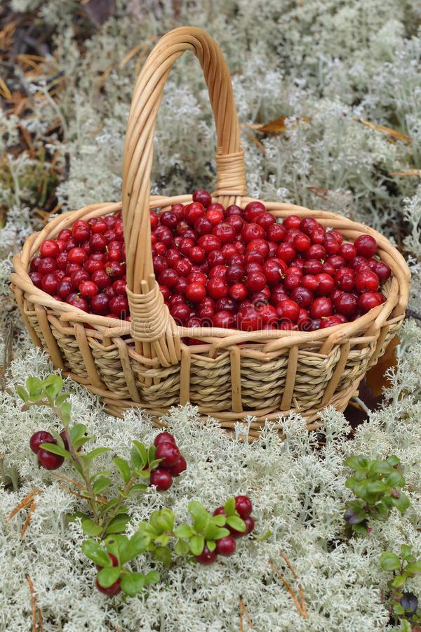 Lingonberry in a basket in the mountains. In sweden royalty free stock photography