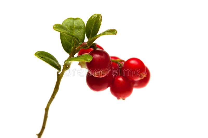 Lingonberry branches isolated on white. Lingonberry branches with berries isolated on white background royalty free stock photo