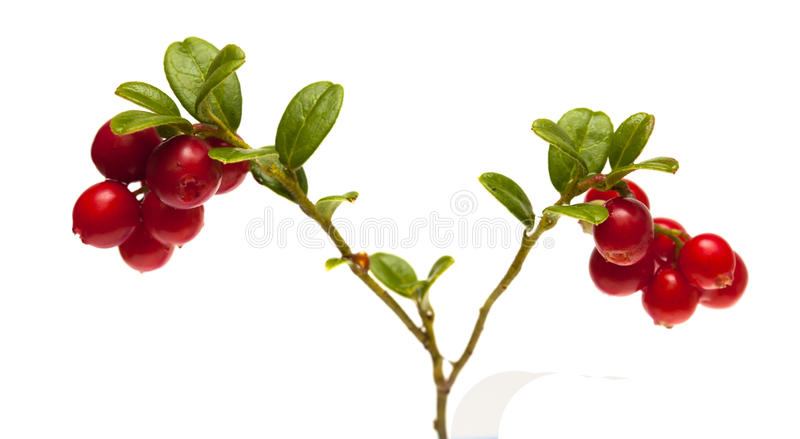 Lingonberry branches isolated on white. Lingonberry branches with berries isolated on white background stock photography