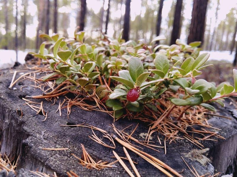 Lingonberry da mola fotografia de stock