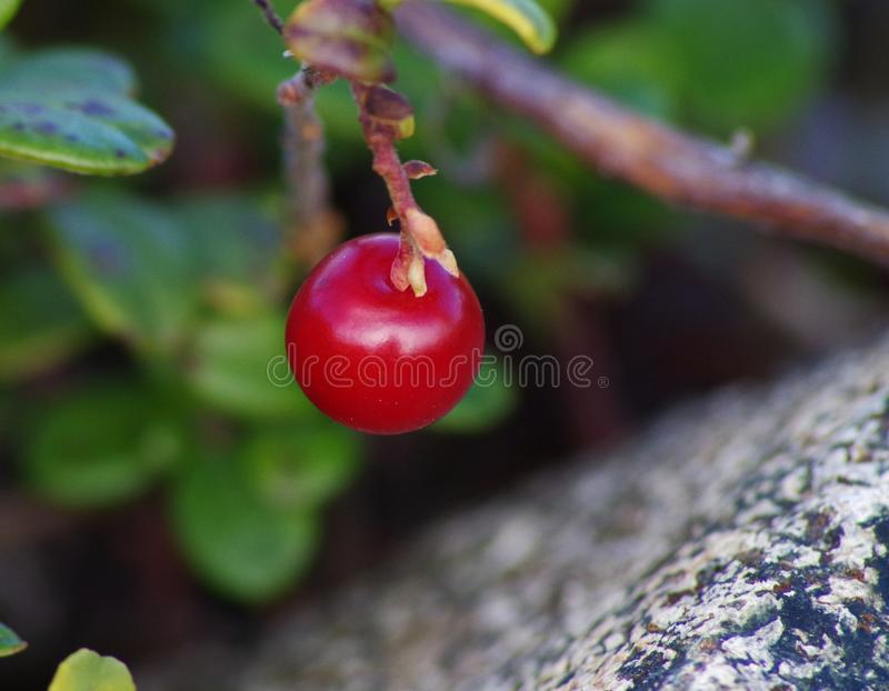 Lingonberry en steen stock afbeeldingen