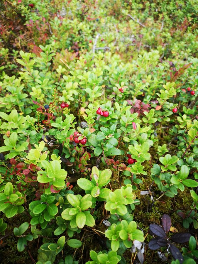 Lingonberry. Finnish, nature, fall, autumn stock photo