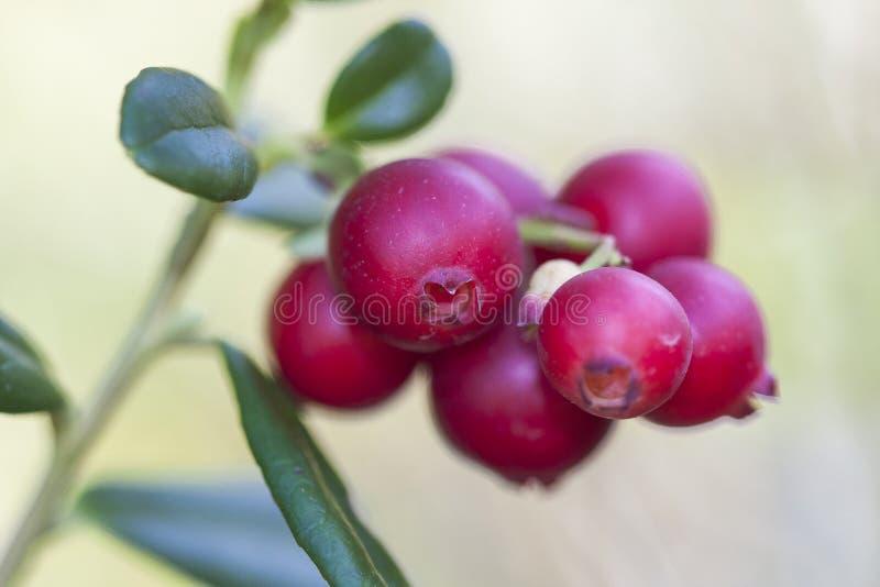 Lingonberry, partridgeberry, или cowberry vitis-idaea Vaccinium короткий вечнозеленый кустарник в семье вереска то стоковые изображения rf