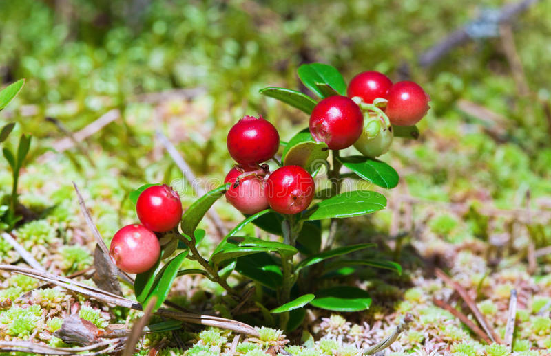 Lingonberry shrub with berries. Lingonberry shrub with red berries stock photos