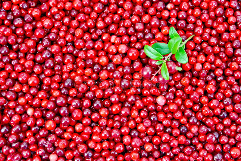 Lingonberry with sprig texture. Texture of ripe red berries lingonberry with a sprig royalty free stock photography