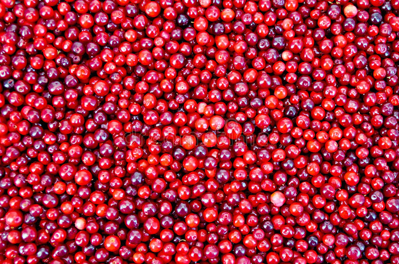 Lingonberry texture. The texture of ripe red berries lingonberry stock photography