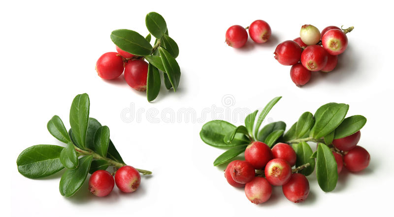 Lingonberry (Vaccinium vitis) obrazy royalty free