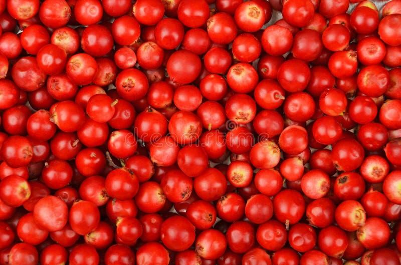 Lingonberry (Vaccinium vitis-idaea) royalty free stock photo