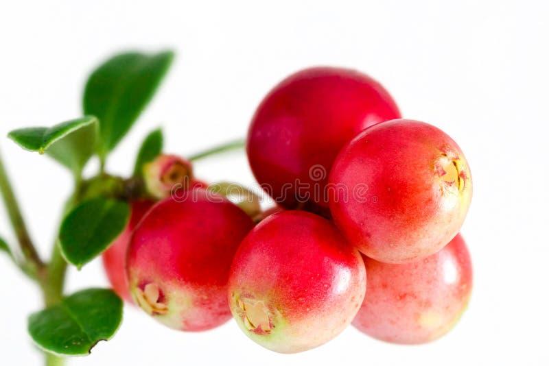Lingonberry. Vaccinium vitis-idaea isolated on white background. Close up stock photo