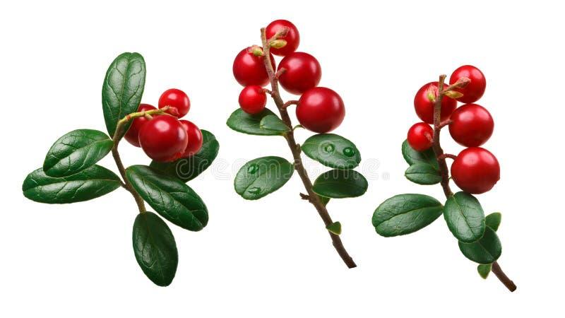 Lingonberry vaccinium vitis-idaea, paths. Lingonberry fruits of Vaccinium vitis-idaea with stem and leaves. Clipping path stock image