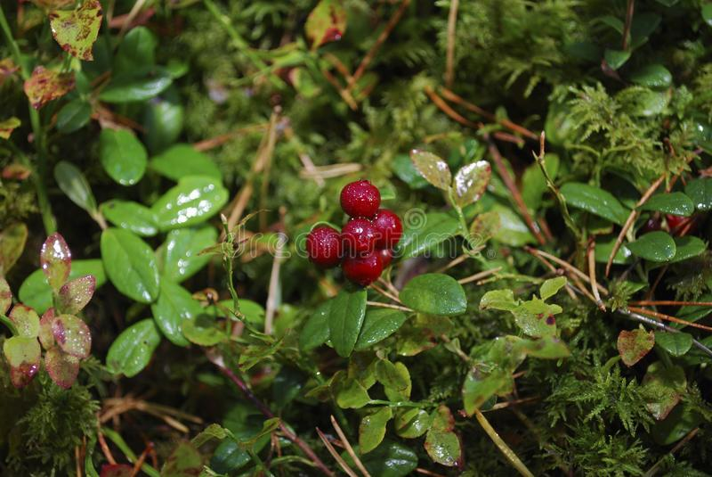 Lingonberry Vaccinium vitis-idaea with water drops grow. stock image