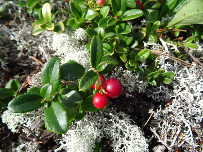 Lingonberry and yagel royalty free stock images