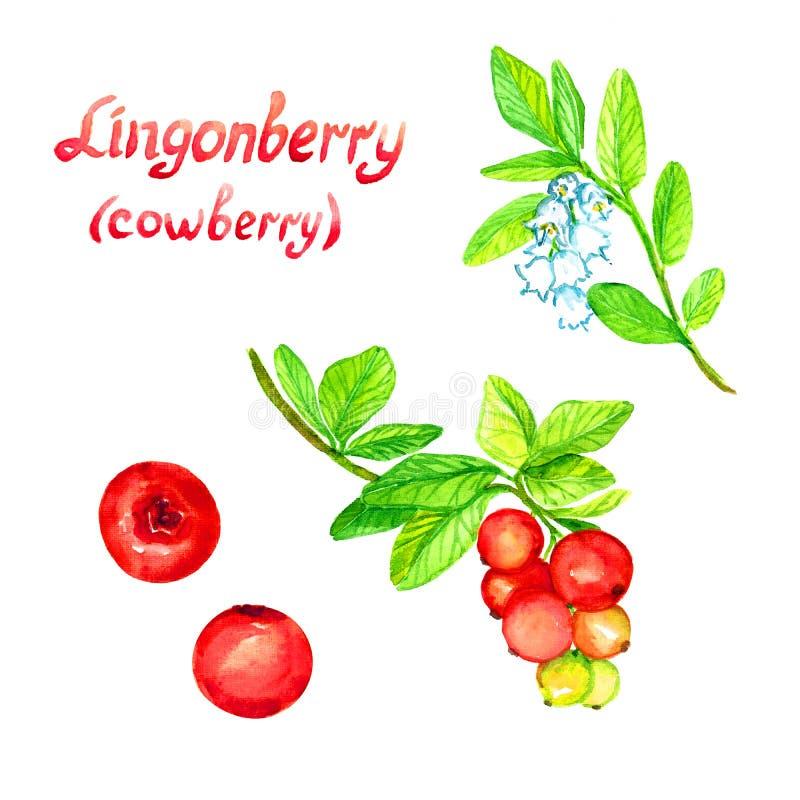 Lingonlingonväxt med blommor och mogna bär vektor illustrationer