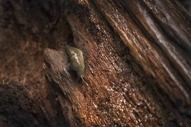 Lingot de banane rampant au-dessus du bois tombé image libre de droits
