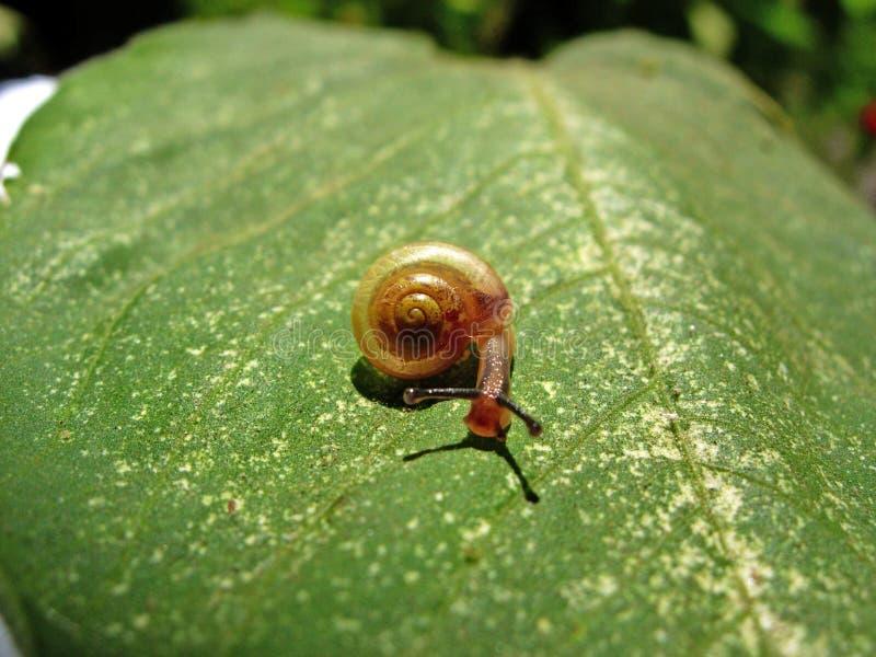 lingot de mollusque d'escargot photo libre de droits