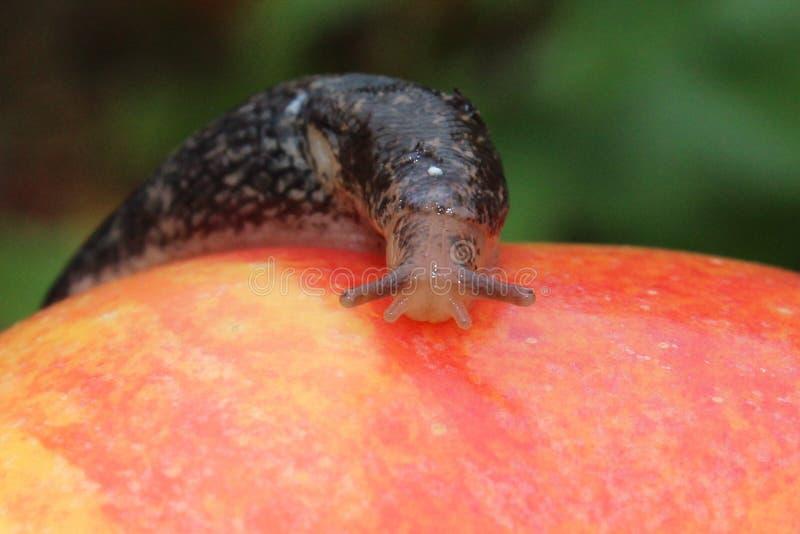 Lingot rampant sur Apple rouge photo stock