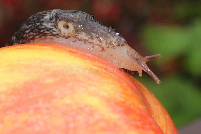Lingot rampant sur Apple rouge image libre de droits