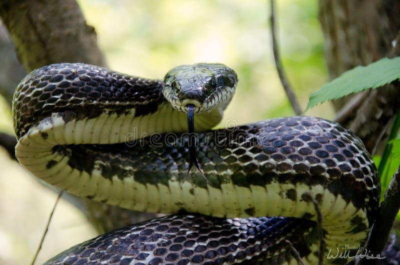 Lingua biforcata orientale del serpente di ratto nero immagini stock