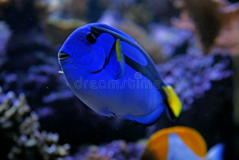 Linguetta blu immagine stock libera da diritti