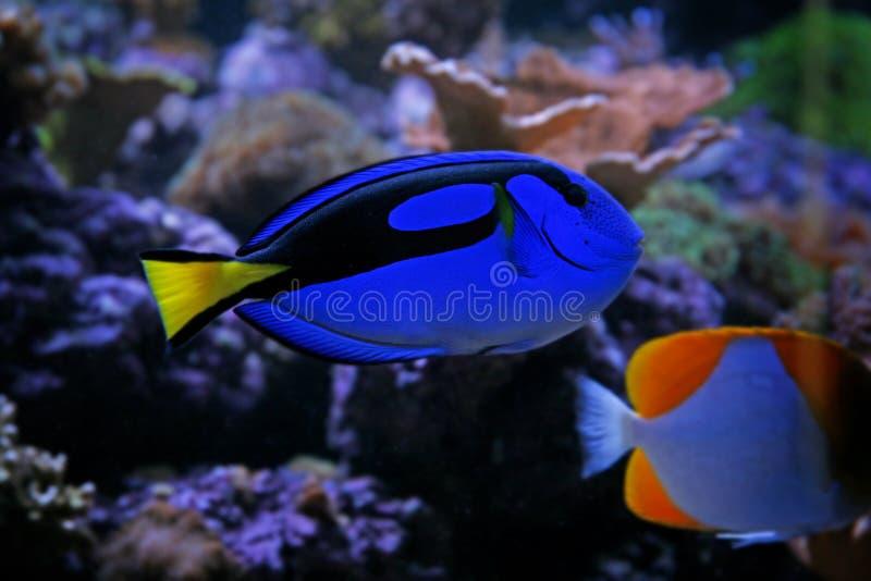 Linguetta blu immagini stock libere da diritti
