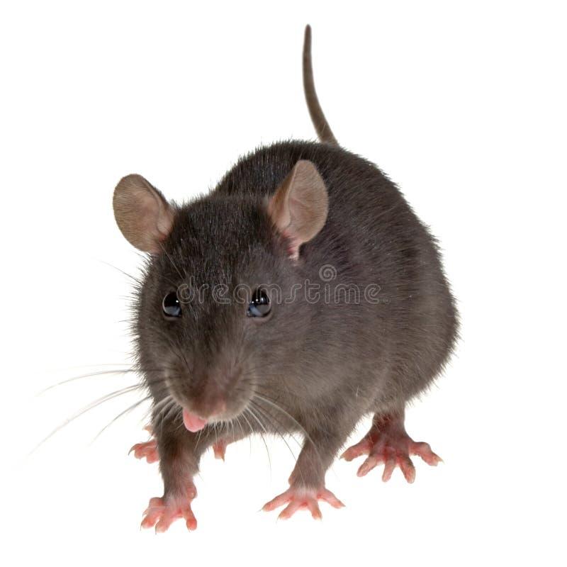Linguetta del ratto fotografia stock libera da diritti