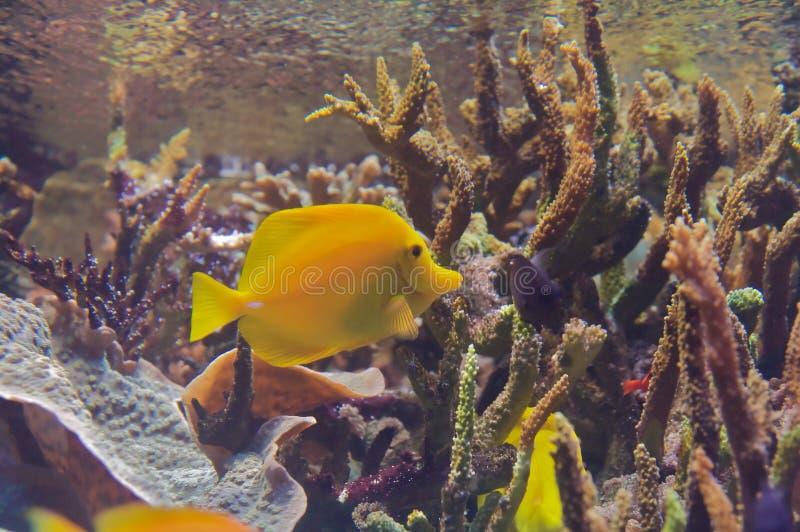 Linguetta gialla (flavescens di Zebrasoma) fotografia stock